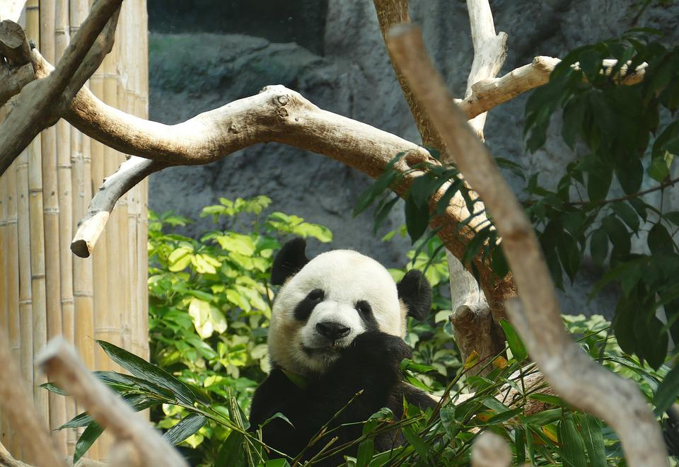 Panda, Bear, Head Drawing, Mammal, Black And White