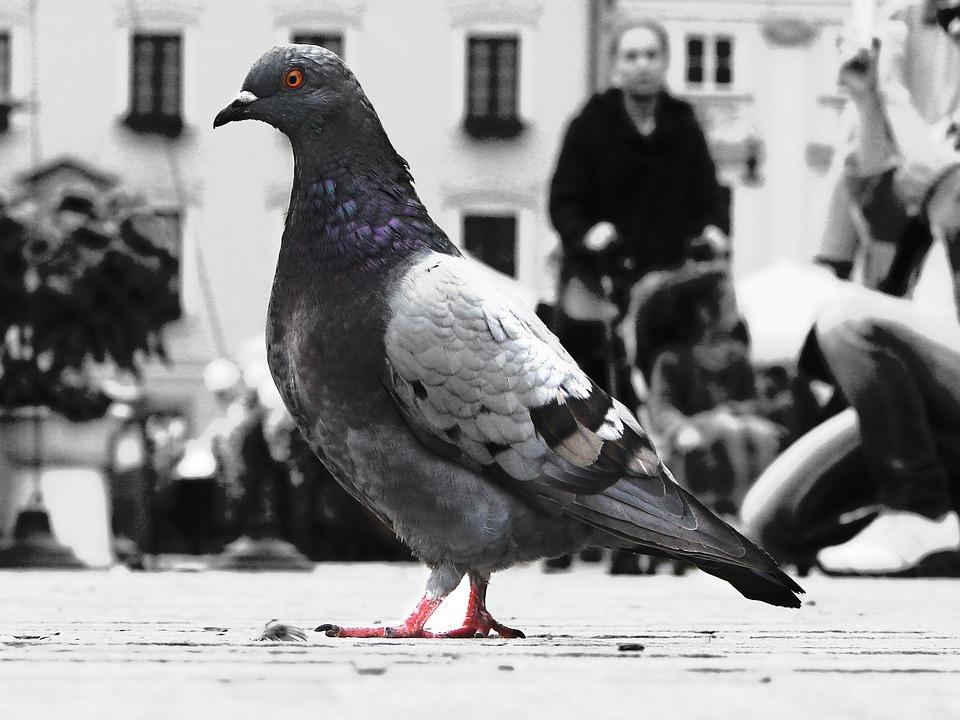 Dove, Bird, Animals, Photo, Black And White, Color