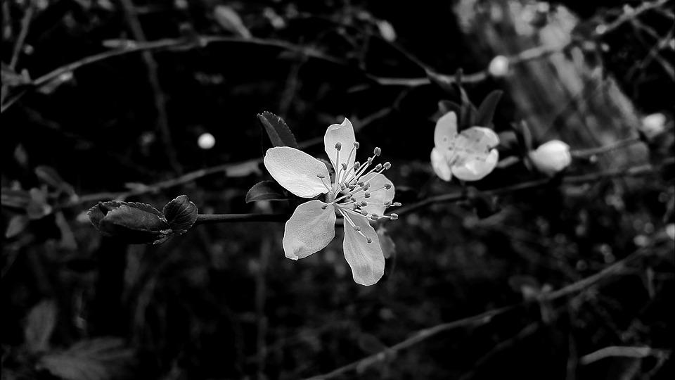 Blossom, Bloom, White Blossom, Black And White, White