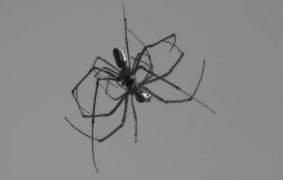 Black And White, Insect, Fauna, Spider