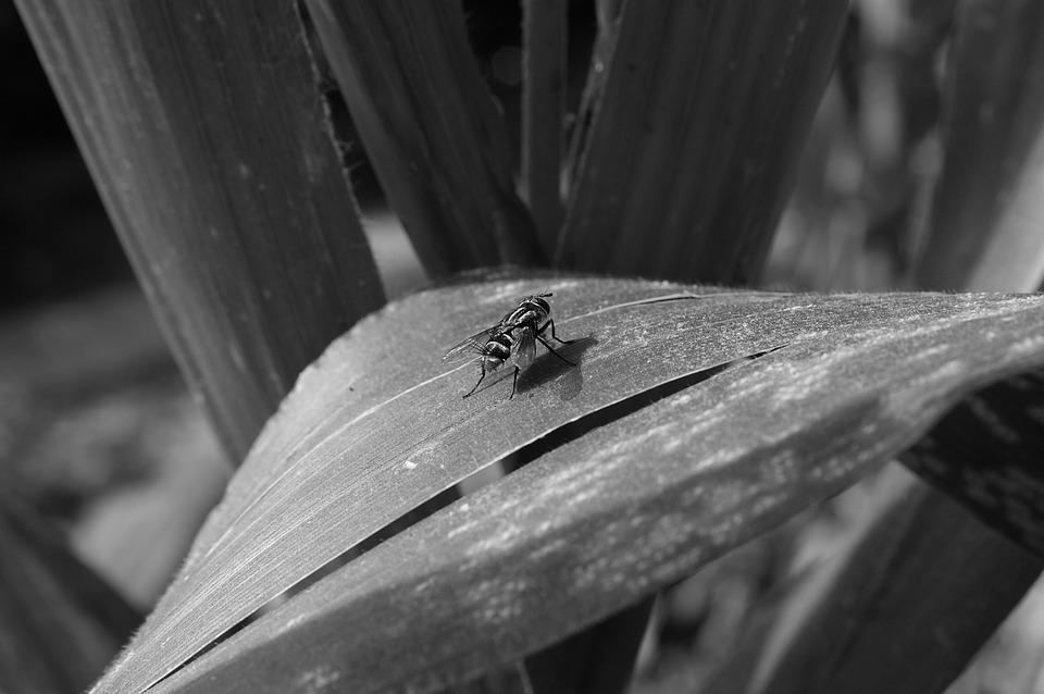Insect, Fly, Black And White