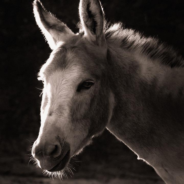 Donkey, Animal, Home, Black And White, Mule, Head