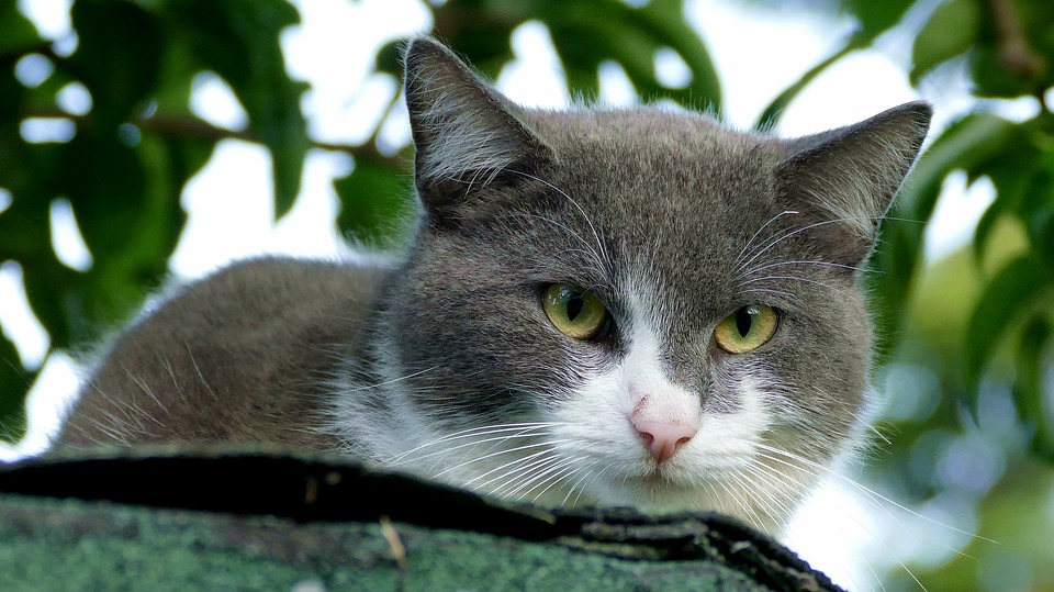 Cat, Pet, Hide Nose, Black And White, Cute, Out