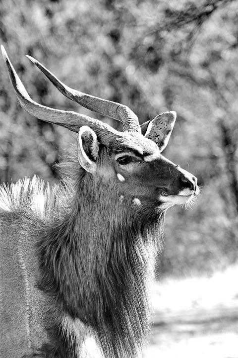 Nyala, Males, Horns, Antelope, Black And White