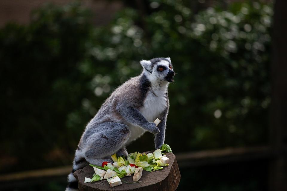 Ring Tailed Lemur, Black And White Lemur, Lemur Eating