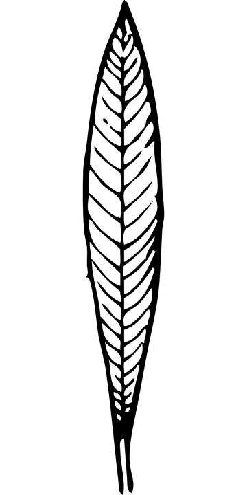 Leaf, Black And White, Plant, Organ, Flattened, Thin