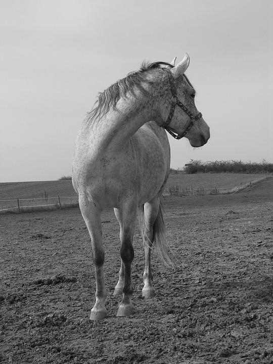 Horse, Black And White, White, B W Photography, Pasture