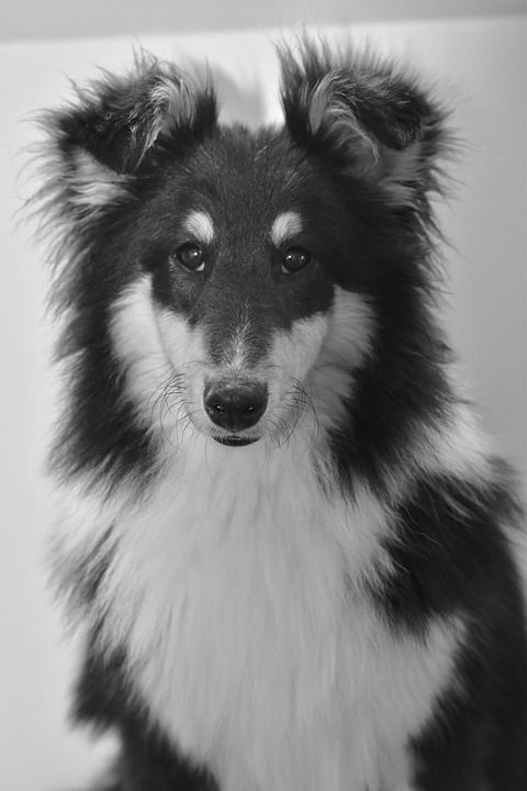 Dog, Pup, Black And White Photo, Dog Shetland Sheepdog