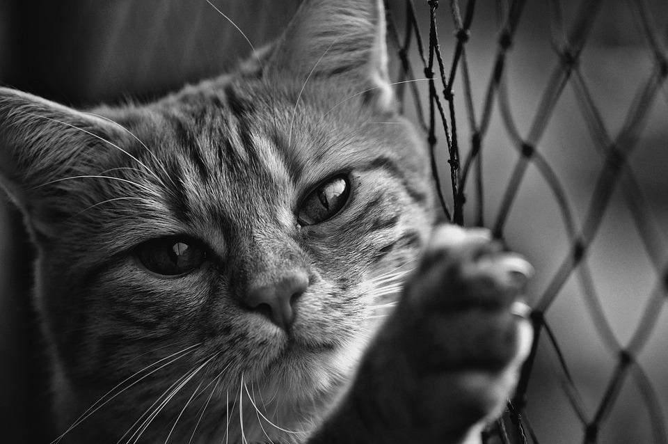 Cat, Black And White, Cute, Mackerel, Tiger, Sweet
