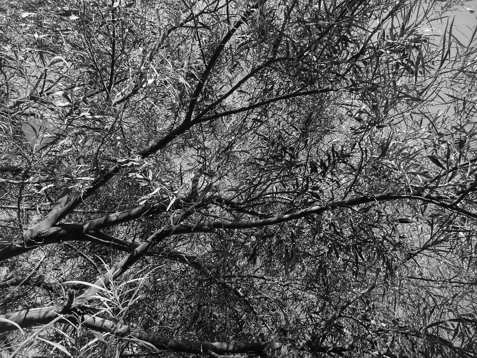 Black, Black White, Black And White, Trees, Picture