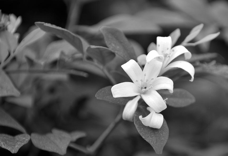 Free photo black and white vine monochrome white flowers max pixel white flowers vine monochrome black and white mightylinksfo