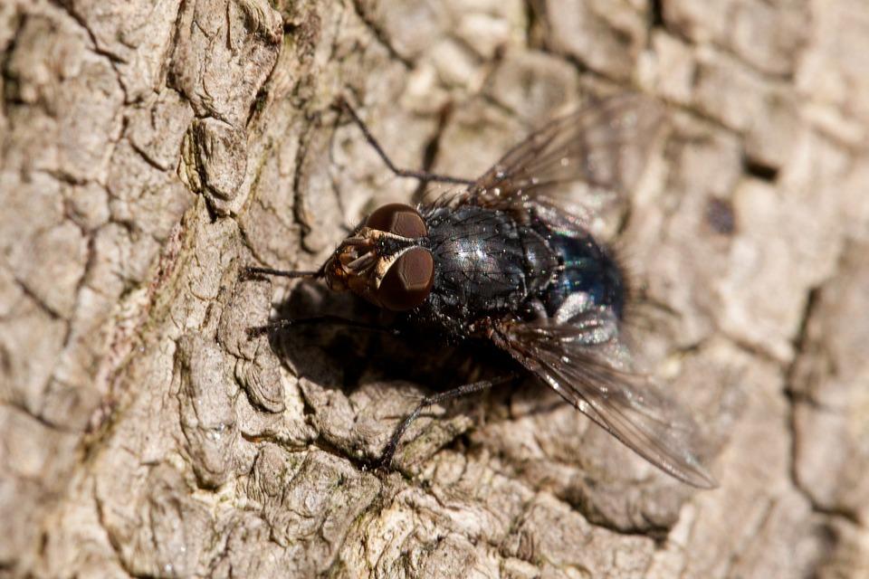 Animal, Black, Brown, Bug, Buzz, Close, Detail