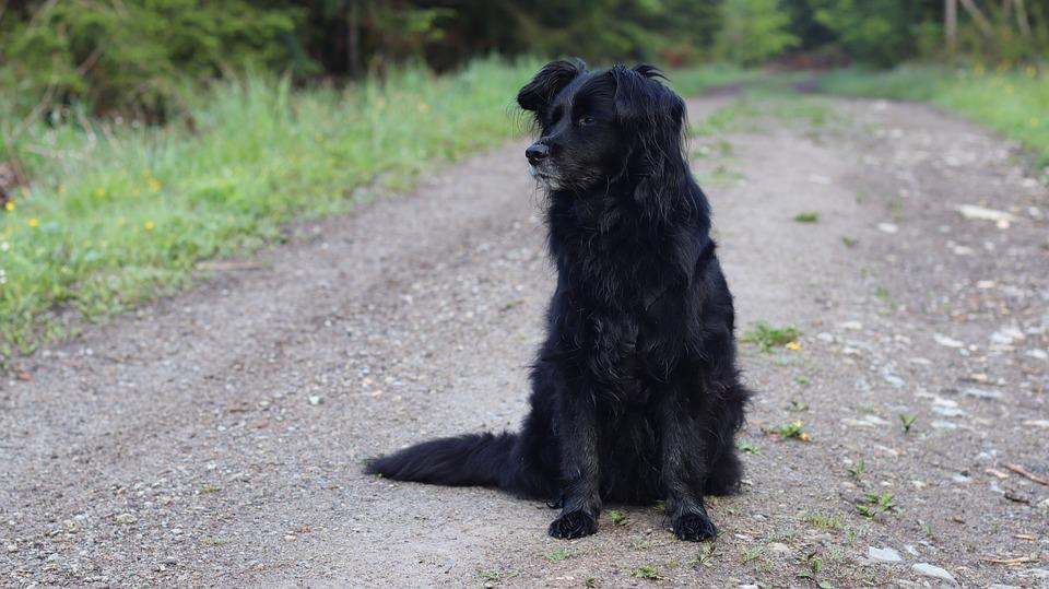 Dog, Black, Pet, Animal, Mammal, Black Dog, Canine
