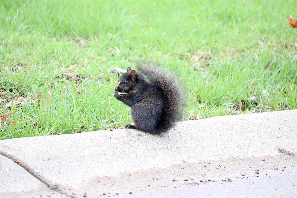 Black, Squirrel, Animal, Rodent, Nature, Furry
