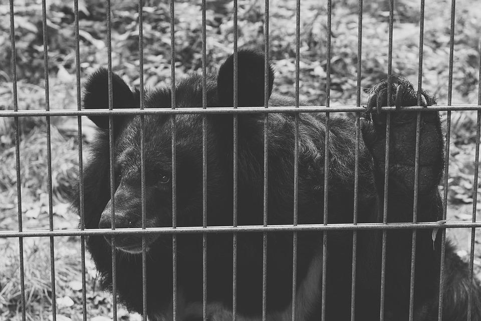 Bear, Black, Captivity, Sad, Black And White, Animals