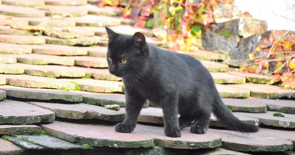 Baby Kitten, Black, Discovery, Game