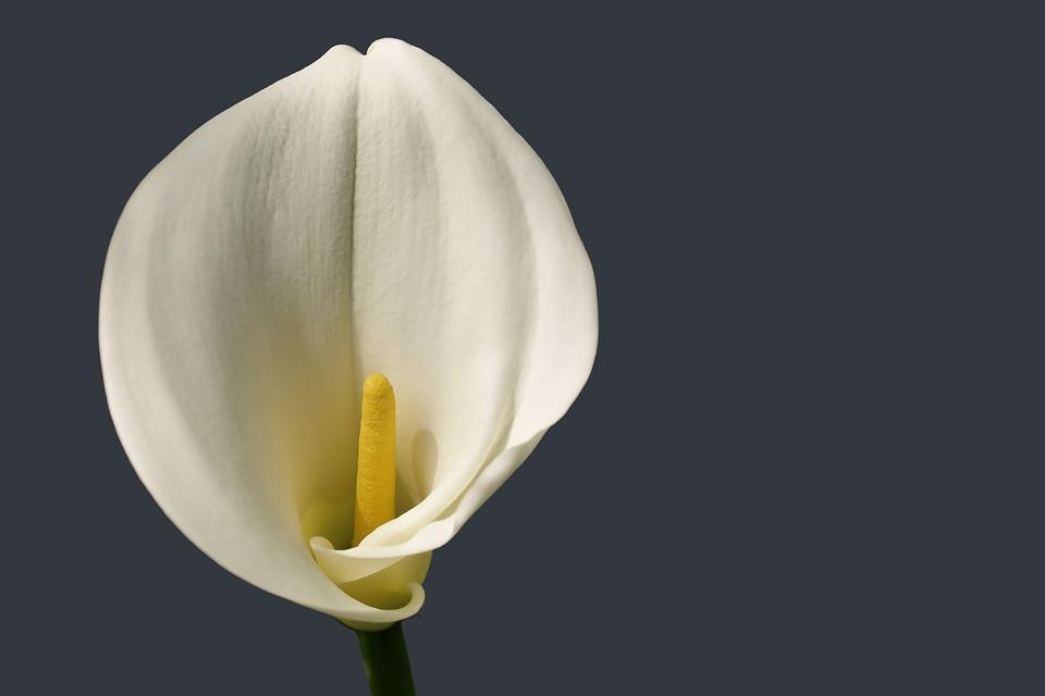Flower, Bloom Calla, White Blossom, Black Background