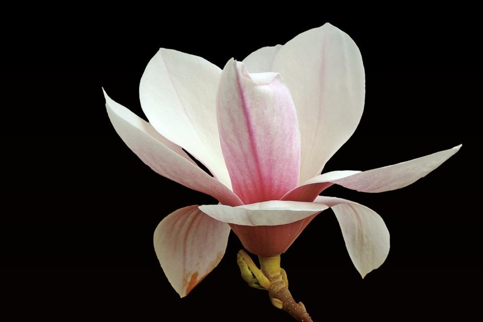 Free Photo Black Background Magnolia Bloom Blossom Blossom Max Pixel