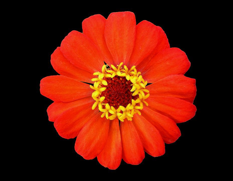 Red And Yellow Flower, Garden, Black Background
