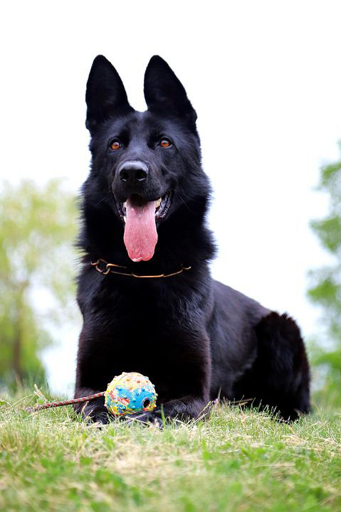 Black, Dog, German Shepherd, Lie, Beautiful, Ball
