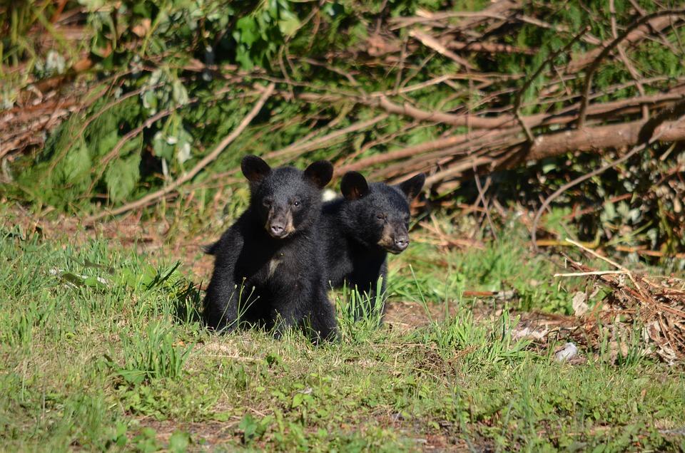 Black Bear, Bear, Cubs, Bears, Young, Animal, Wildlife