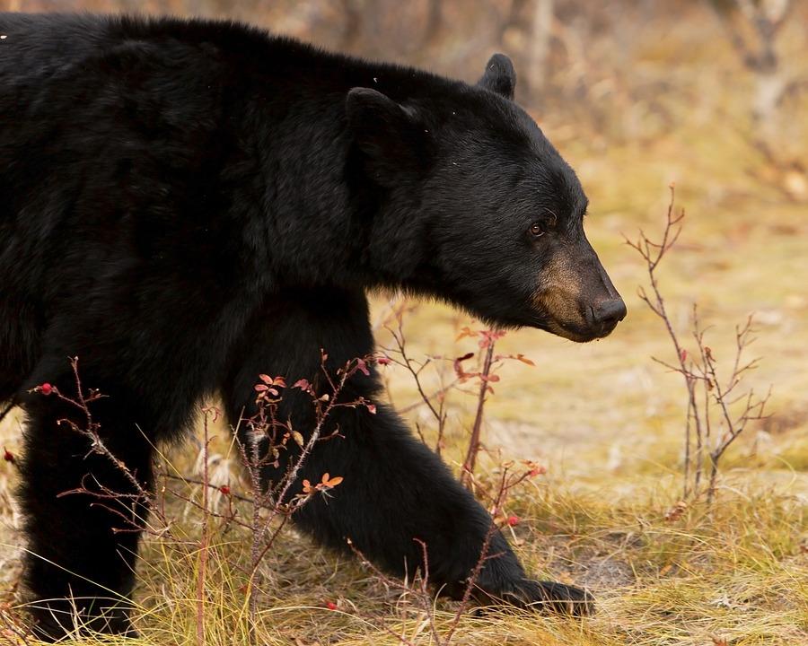 Black Bear, Nature, Animal, Bear, Wildlife, Berries