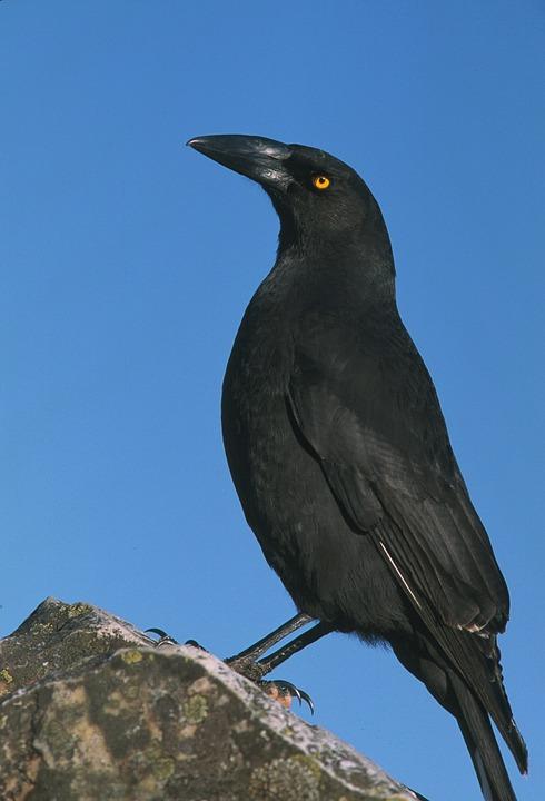 Bird, Black Bird, Closeup, Zoom, Black, Wildlife