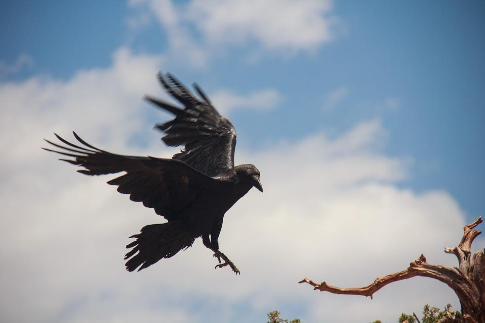 Ravens flying wallpaper - photo#38