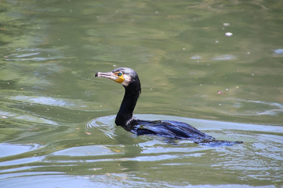 Cormorant, Birds, Eyes, Plumage, Black, Beak, Animals
