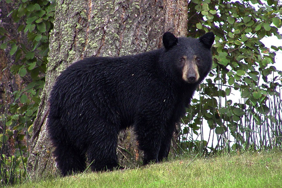 Black Bear, Animal, Black, Canim Lake, Canada