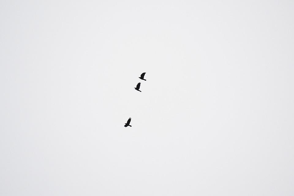 Crows, Birds, Black Crows, Sky, Black, Flying, Wings