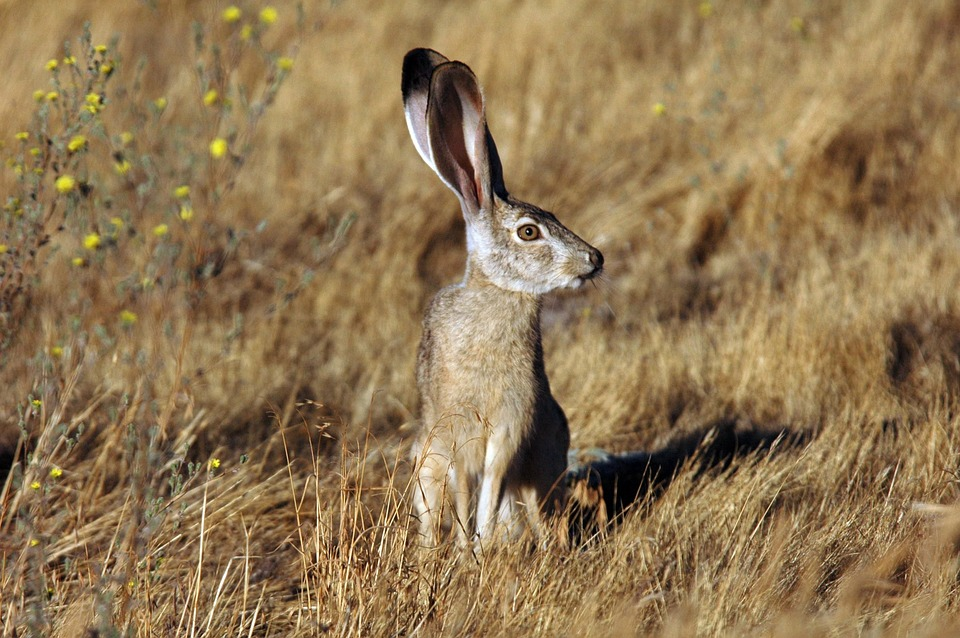 Animal, Jackrabbit, Tailed, Black, Rabbit, Bunny