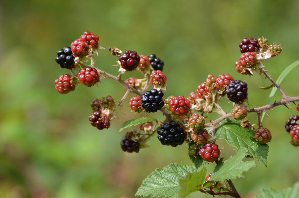 Blackberry, Bush, Fruit, Berries, Black, Red, Ripe
