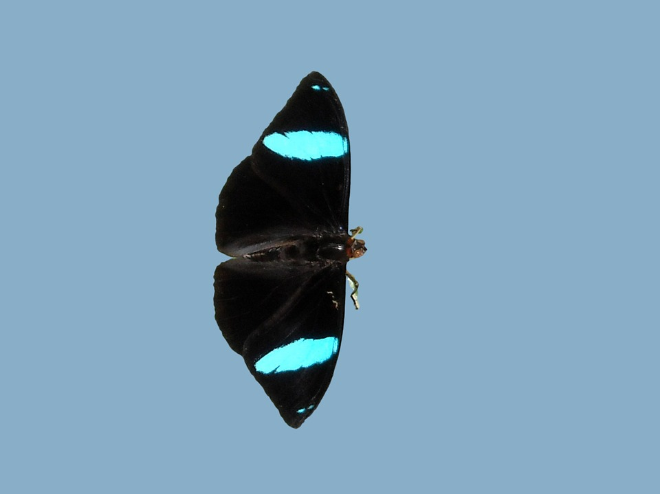 Butterfly, Butterfly Park, Black Butterfly With Blue
