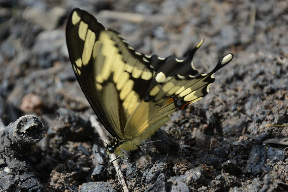 Butterfly, Giant Swallowtail, Yellow, Black, Closeup