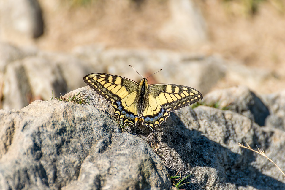 Butterfly, Yellow, Black, Insect, Nature, Wing, Macro