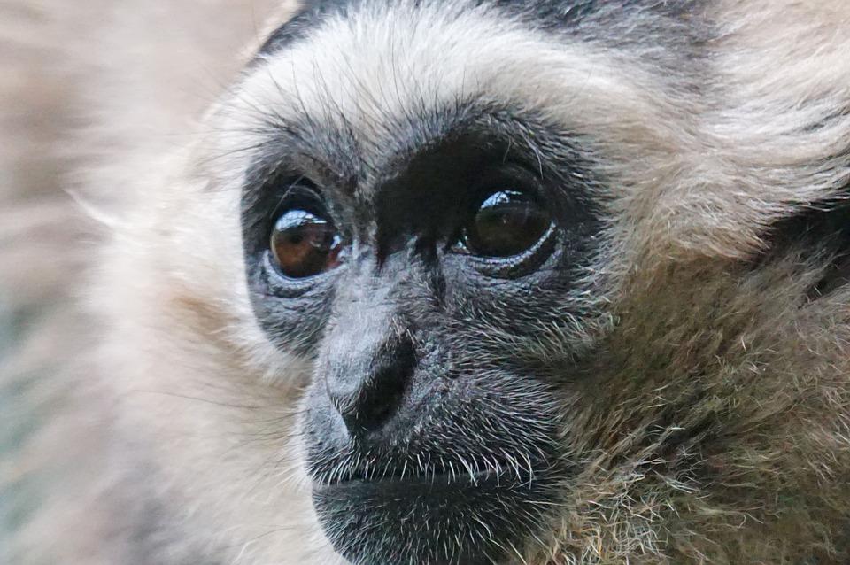 Black Caps Gibbon, Gibbon, Affenartig, Mammal