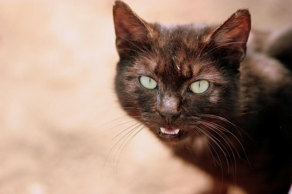 Cat, Black, About