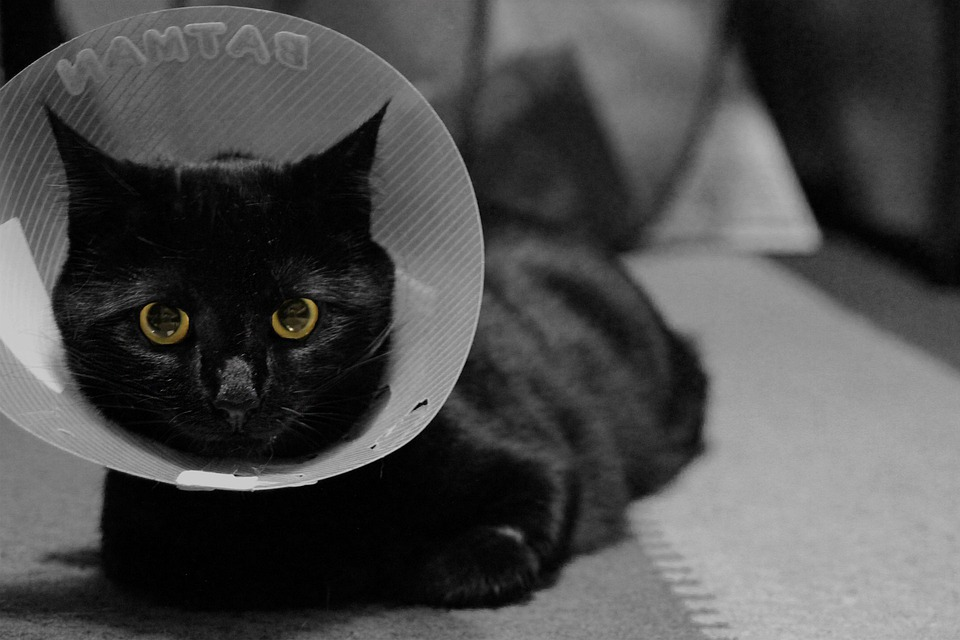 Cat, Feline, Black Cat, Cone, Collar