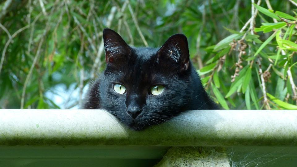 Black Cat, Eyes, Kitty