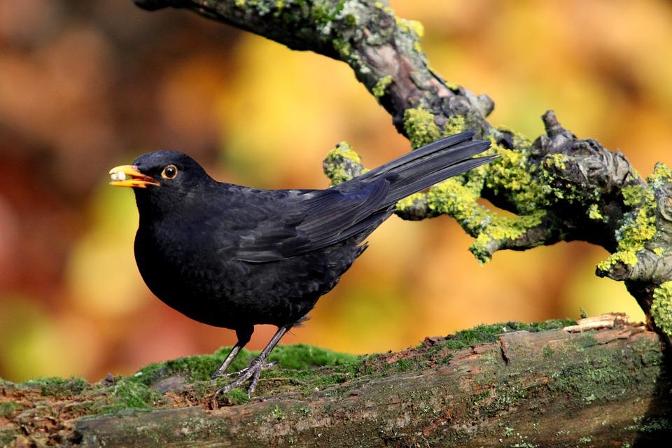 Blackbird, Bird, Black, Colors