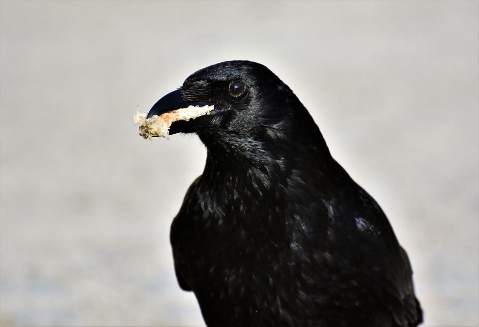 Crow, Raven, Raven Bird, Black, Bill, Bird, Feather