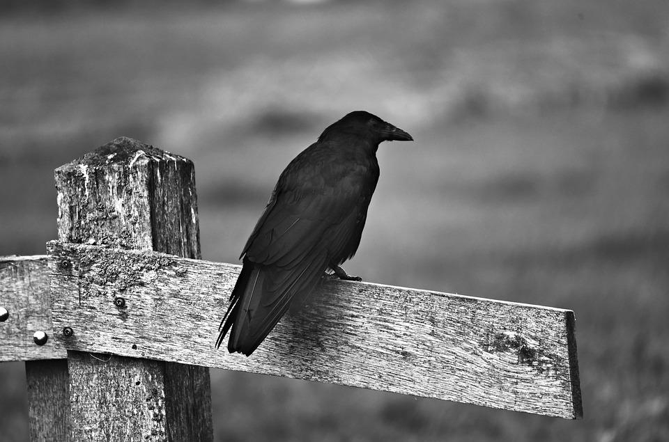 Black Crow, Bird, Corvid, Animal, Plumage, Feather