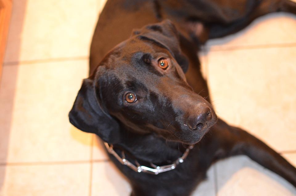 Dog, Black, Lab, Pet, Animal, Canine, Cute, Puppy