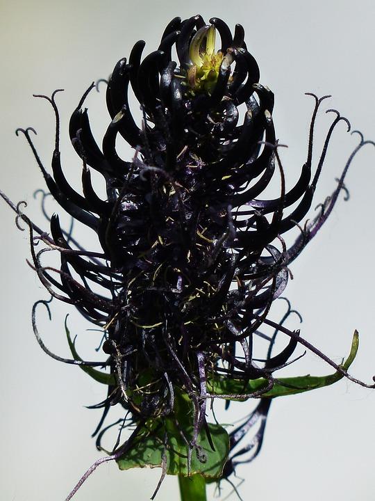 Black Devil's Claw, Blossom, Bloom, Flower, Black