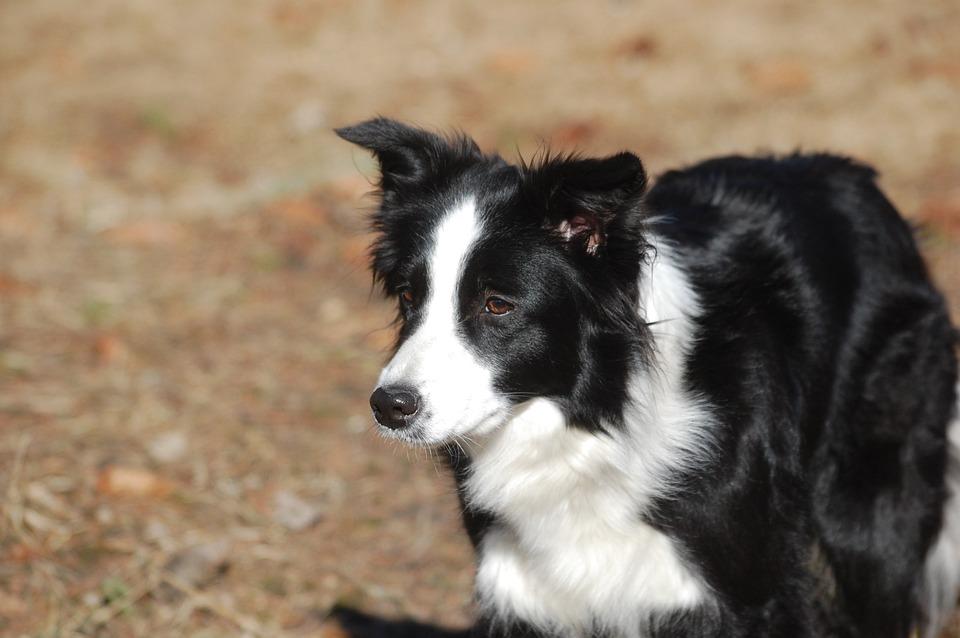 Border Collie, Dog, Pet, Animals, The Muzzle, Black