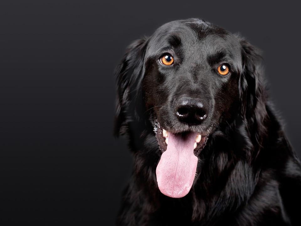 Dog, Hovawart, Black, Pet, Black Background, Dog Head