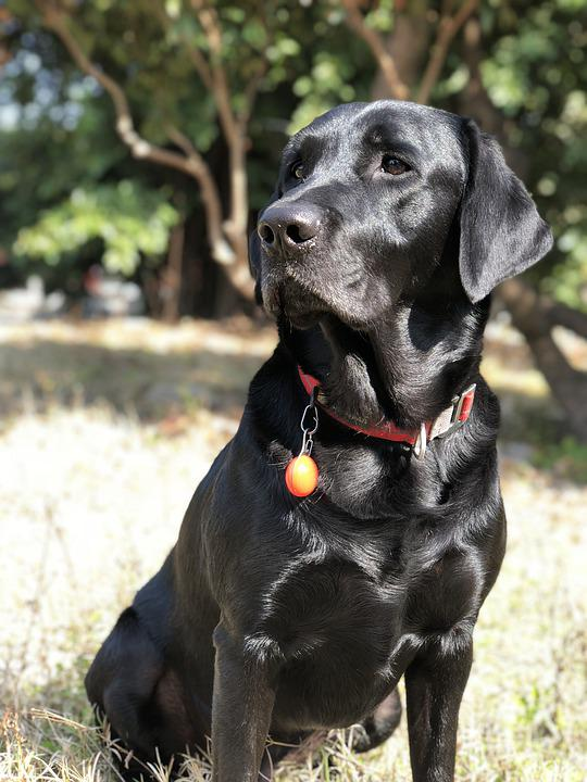 Black Dog, Labrador, Dogs, The Black Dog