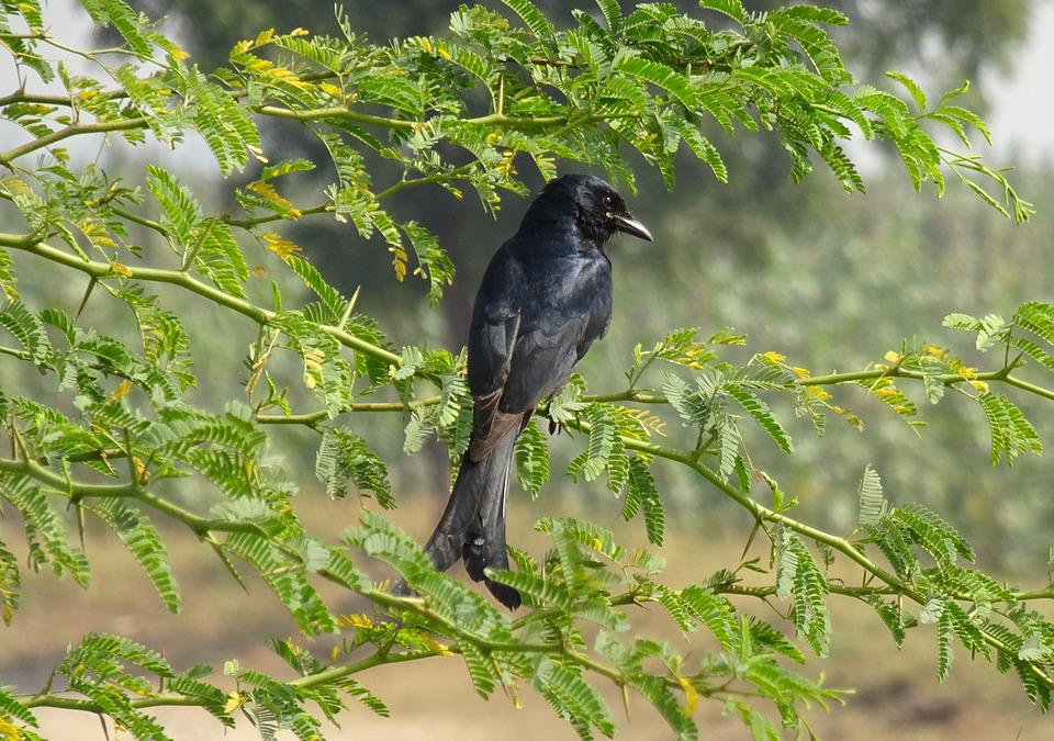 Bird, Drongo, Black Drongo, Dicrurus Macrocercus