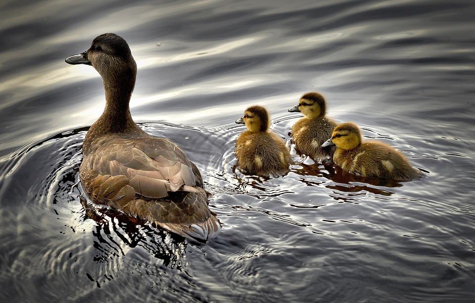Black Ducks, Ducklings, Bird, Water, Baby Duck, Québec